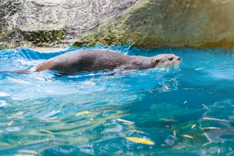 Otters Test Positive for Covid