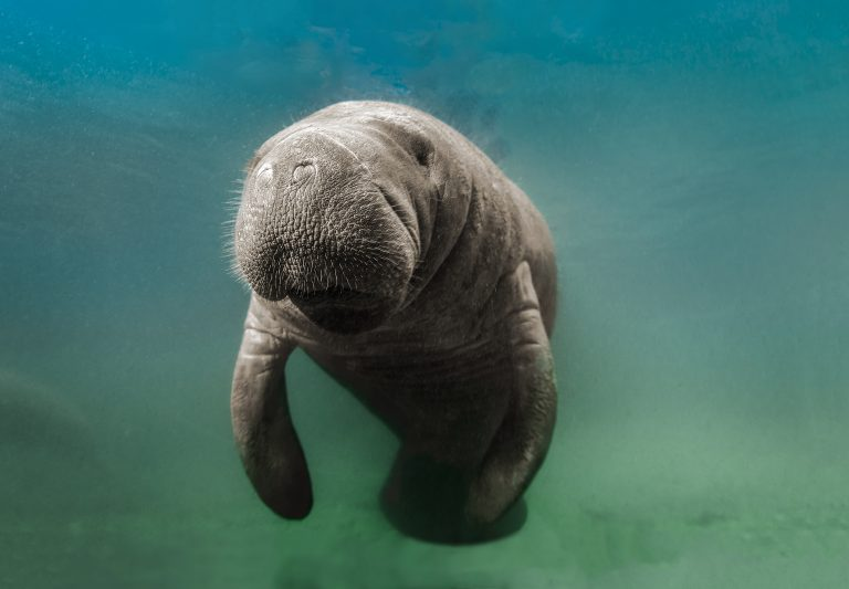 Petition: Hundreds of Manatees Have Died in 2021. Urge Florida to Protect the Ocean!
