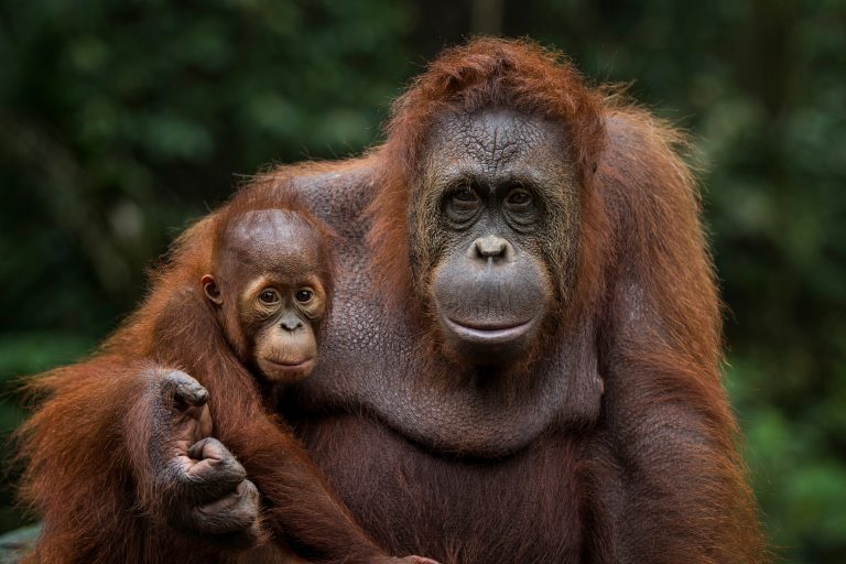 Orangutan Confiscations Hit All Time High Due to Covid