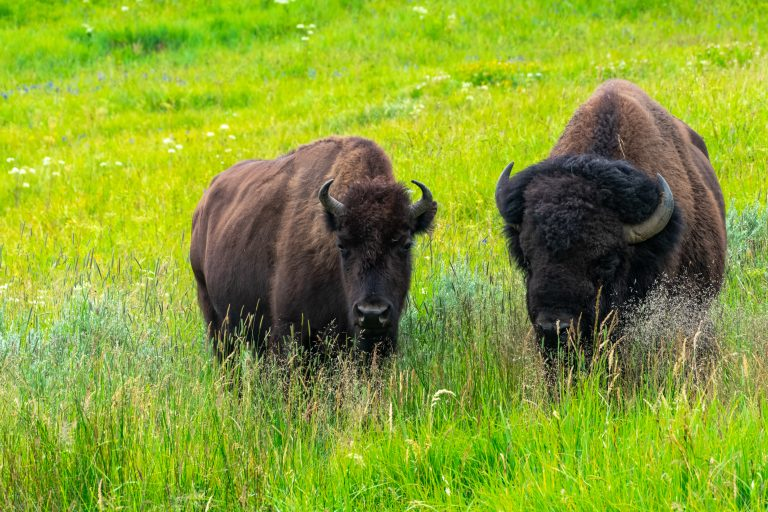 National Park Service Allowing Trophy Hunting at Grand Canyon Puts More than Bison at Risk