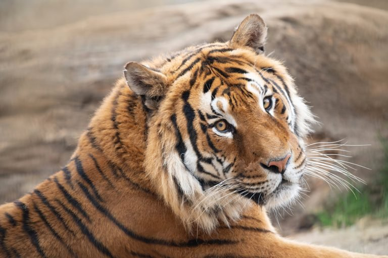 Tiger with Collar Wandering in Houston Neighborhood Caught on Video
