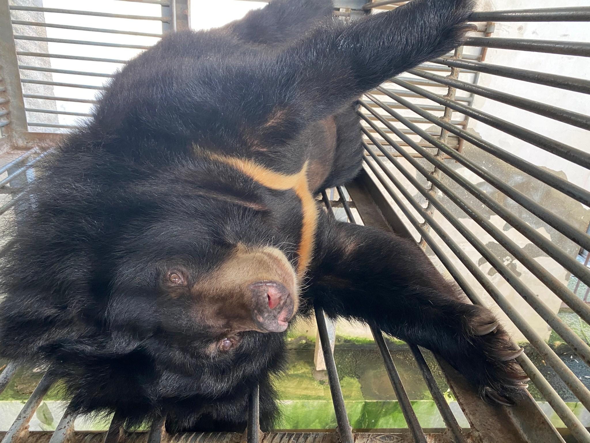 101 Bears Saved from Bear Bile Farms