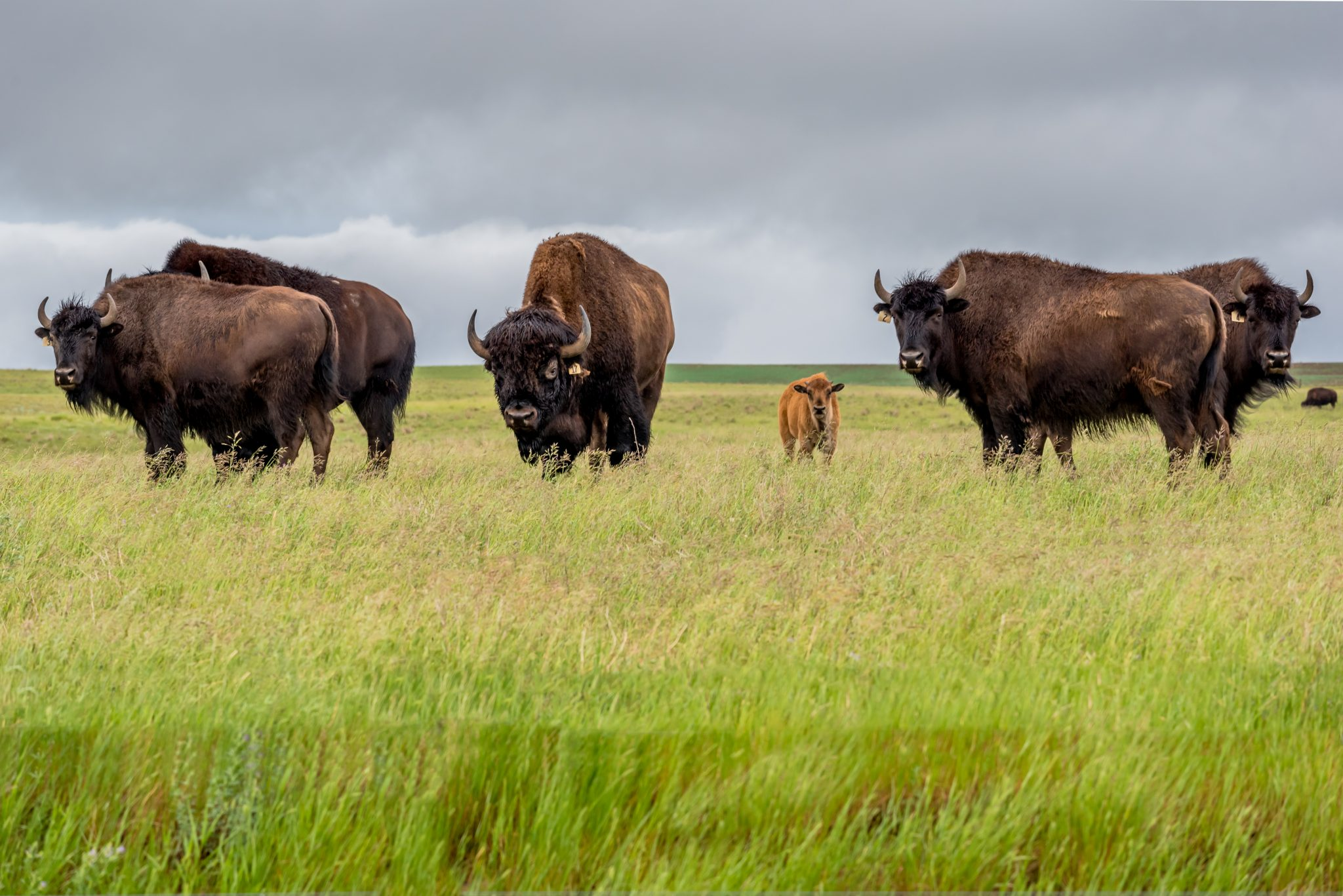 Grand Canyon National Park Opens Bison Hunting